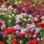 Yuk, Intip 5 Arti dari Warna Bunga Mawar