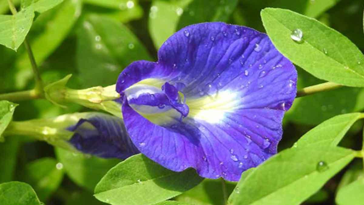 Memiliki Warna yang Cantik, Ini Manfaat Bunga Telang untuk Kesehatan